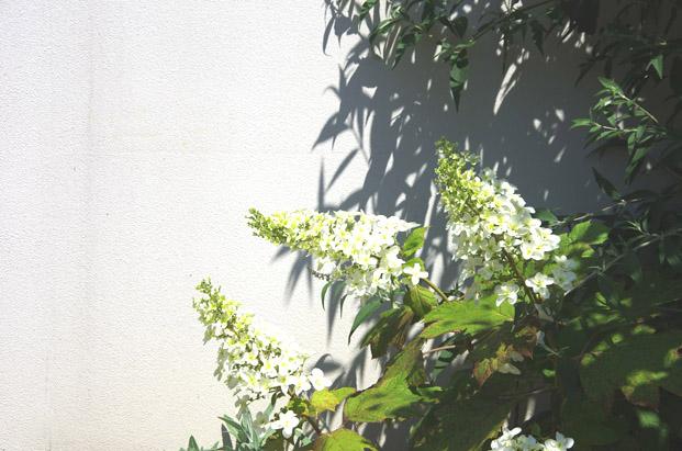 紫陽花 ガーデン アンティーク